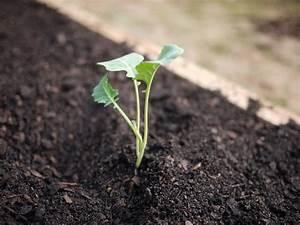 Brokkoli Samen Kaufen : brokkoli anbauen aussaat pflege und erntezeit plantura ~ Orissabook.com Haus und Dekorationen