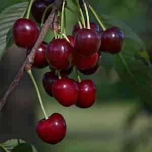 Taille De Cerisier : cerisier bigarreau 39 schneiders 39 taille en gobelet ~ Melissatoandfro.com Idées de Décoration