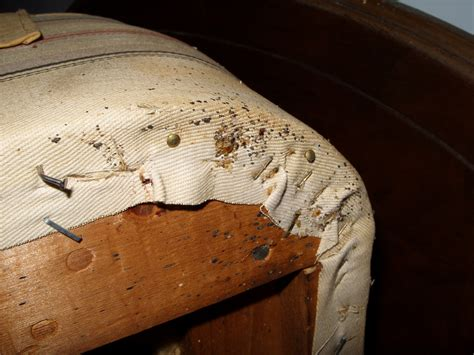 At Head Old Box Spring Turned Over See Bed Bugs Nymphs