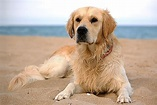 Lupoid Dermatosis in Dogs - Symptoms, Causes, Diagnosis ...