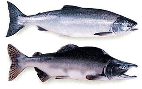 commercial salmon fisheries alaska department  fish