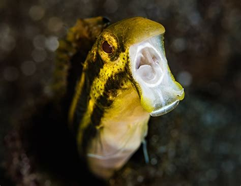 small tropical fish pack unusual venom researchers