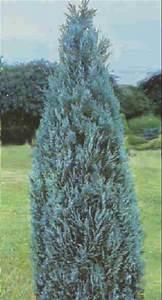 Blaue Scheinzypresse Kaufen : pflanzenportrait ~ A.2002-acura-tl-radio.info Haus und Dekorationen