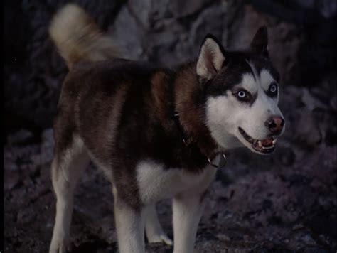 Siberian Huskies Photo (32171013