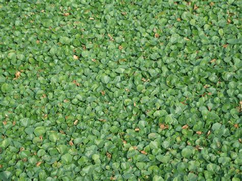prezzi tappeti erbosi prato erboso in rotoli dicondra bsvillage