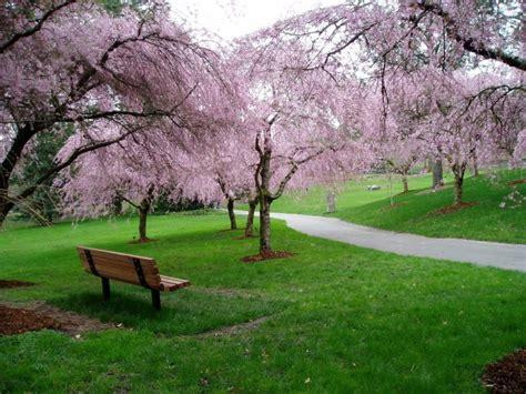botanical garden cherry blossom vancouver cherry blossom festival vancouver homes