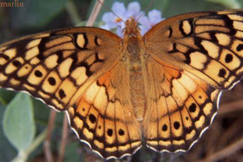 variegated fritillary butterfly euptoieta claudia