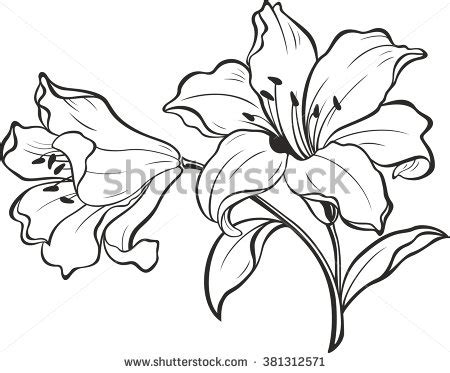 Azuzena Flower Template by Lily Stock Images Royalty Free Images Vectors