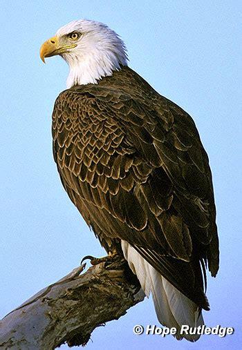 Bald Eagle Images History Of The Bald Eagle American Bald Eagle Information