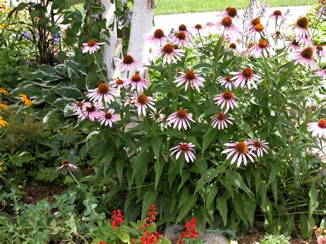 growing coneflowers flowers for flower lovers cone flowers pictures