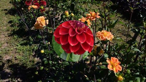 Dālijas Žvīgursala | Plants