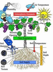 9.2 Transport in angiosperms - SL/HL2 Biology Ferguson