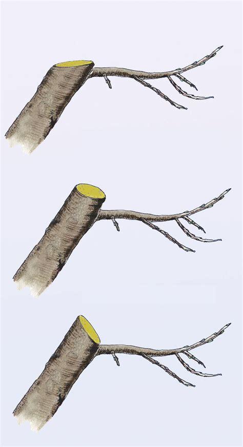 apfelbaum schneiden zeitpunkt apfelbaum schneiden garten apfelb 228 ume schneiden