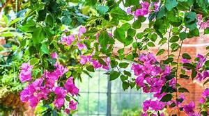 Pergola Pour Plante Grimpante : 15 plantes grimpantes pour petit jardin et balcon ~ Premium-room.com Idées de Décoration