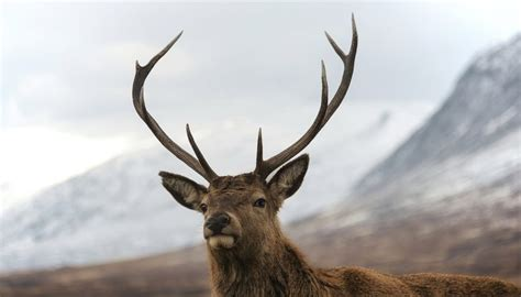 when do whitetails lose their antlers why do deer lose their antlers sciencing