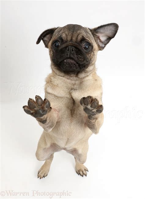 Dog Pug Puppy Standing On Hind Paws Raised P O Wp
