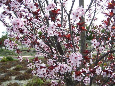 purple leaf flowering plum tree the 2 minute gardener photo purple leaf plum tree prunus cerasifira