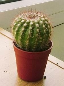 Pot A Cactus : 1 mini cactus succulents cacti in pot easy care evergreen foliage indoor plant ebay ~ Farleysfitness.com Idées de Décoration