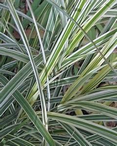 Miscanthus Sinensis Variegatus : variegated pocupine grass ~ Eleganceandgraceweddings.com Haus und Dekorationen