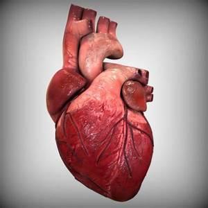 3D model of the human heart | 3d Anatomy | Pinterest ...