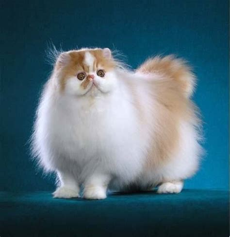 Persiani Gatti Gatti Persiani Pelo Lungo Caratteristiche Dei Gatti