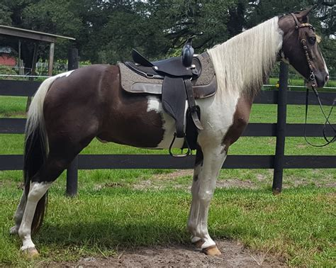 saddle horse spotted diet