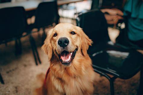 friendly facts  golden retrievers dogvills