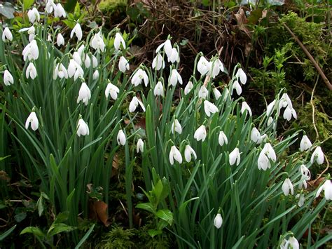 wildflower bulbs single snowdrops galanthus nivalis delivery august 2018 uk delivery naturescape
