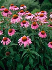 pink flower echinacea purpurea bluestone perennials