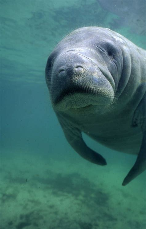 25 Best Ideas About Manatees On Pinterest Manatee