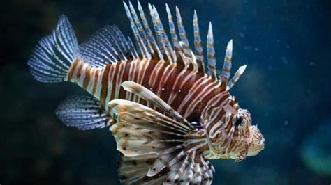 poisonous lionfish spreads  neighbouring sicily