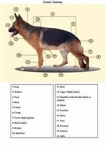 Canine Anatomy