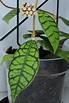 Hoya callistophylla (short leaf)   Krukväxter, Växter och Blommor