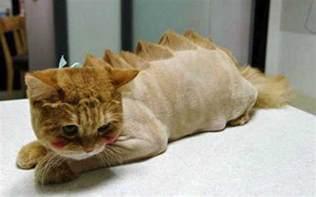 cutting cats hair fancy feline haircuts poc