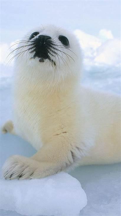 Sea Lion Iphone Wallpapers Seal Harp Seals