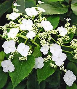 Blühende Kletterpflanzen Winterhart Mehrjährig : kletter hortensie semiola 1 pflanze g nstig online ~ Michelbontemps.com Haus und Dekorationen