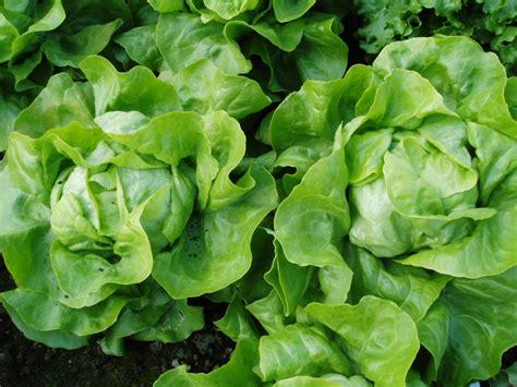 feuille de cuisine semer et repiquer les salades pratique fr