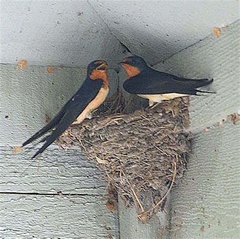 """Bird "" of north Texas: Leave Swallows' mud nests alone"