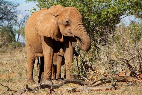 baby elephant eating stock photo freeimagescom