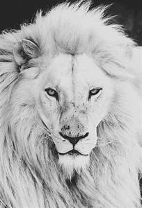 Tumblr Lion Roaring   www.pixshark.com - Images Galleries ...
