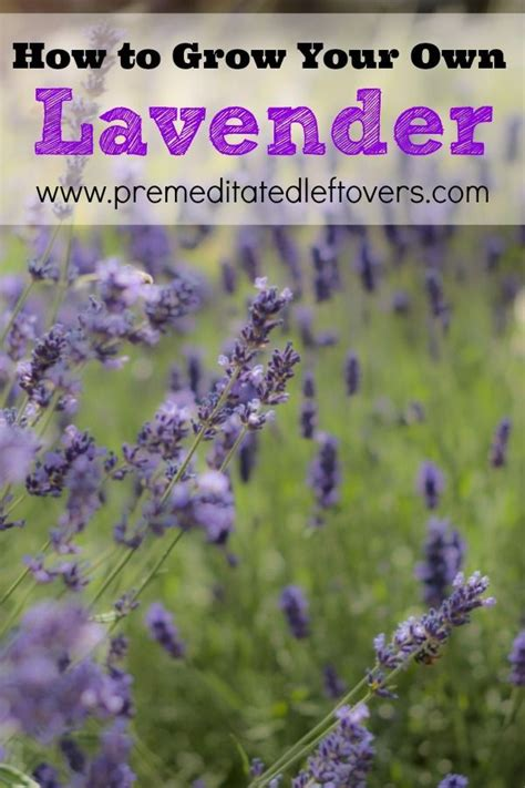 how to plant lavendar 48 best images about herbs and herb gardening tips on pinterest gardens gardening for