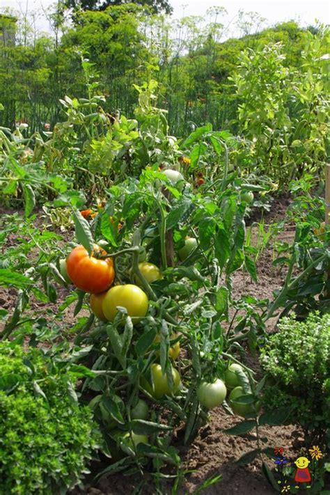 Tomāti lauka - Raunas stādi - Dārzeņu stādi