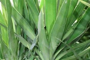 Palme Umtopfen Wurzeln Abschneiden : yucca palme schneiden so k rzen sie die palmlilie richtig ~ Frokenaadalensverden.com Haus und Dekorationen