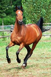 Galloping Arabian-Front View-stock by folipoo on DeviantArt