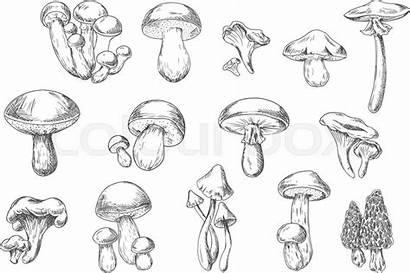 Mushroom Mushrooms Sketch Vector Edible Wild Poisonous