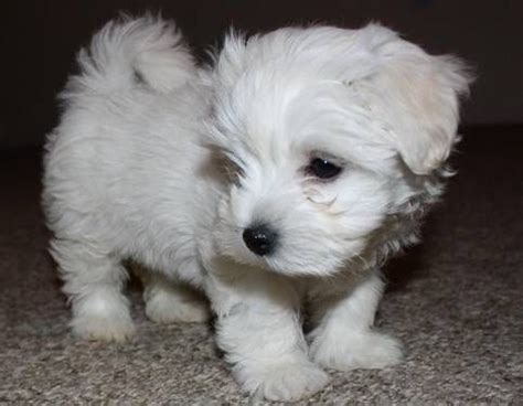 does maltipoo shed hair 80 best dogs that don t shed images on