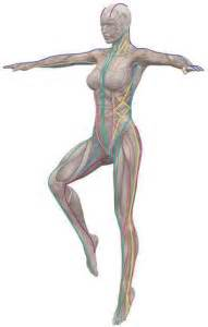 anatomy trains  structure  function massage therapy