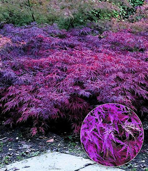Japanischer Garten Ahorn by Japanischer Ahorn Seiryu Acer Asia Garten