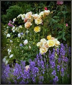 Rosen Und Lavendel : rosen mit lavendel bilder und fotos garden lavendel bilder garten lavendel ~ Yasmunasinghe.com Haus und Dekorationen