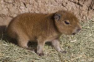 Baby Capybara Welcomed by San Diego Zoo